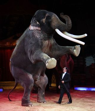 Circus_elephant
