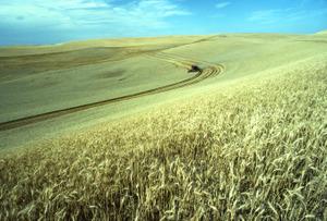 Wheatfieldusda
